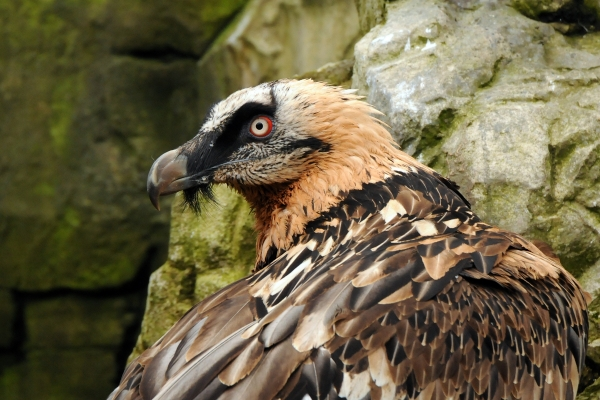 Bearded Vulture Joachim-S.-Müller