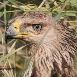Imperial Eagle - Omar Fadhil