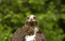 Lesser Spotted Eagle
